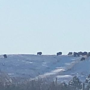 Bison on the horizon