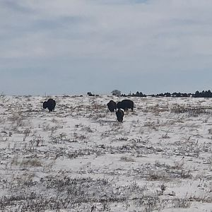 Bison in South Dakota USA