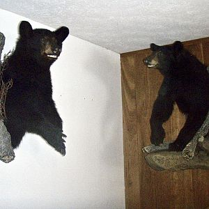 Black Bear Wall Mount Taxidermy
