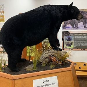 Black Bear Full Mount Taxidermy