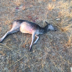 Bow Hunt Fallow Deer Doe in Chile South America
