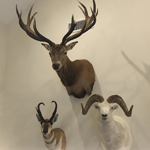 Red Stag,  Pronghorn & Dall Sheep Shoulder Mount Taxidermy