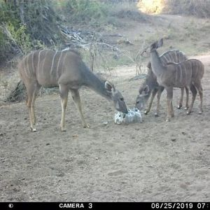 Trail Cam Pictures of Kudu in Zimbabwe