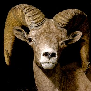 Mexico Desert Sheep Full Mount Taxidermy