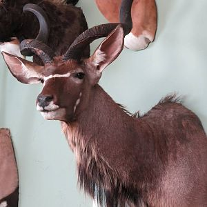 Kudu Shoulder Mount Taxidermy
