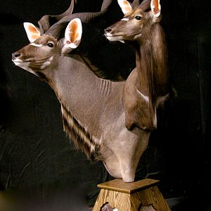 Kudu / Nyala Double Pedestal Mount Taxidermy