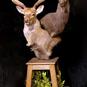 2 Sub-species Sika Double Pedestal Mount Taxidermy