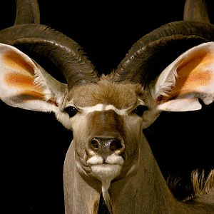Kudu Pedestal Mount Taxidermy