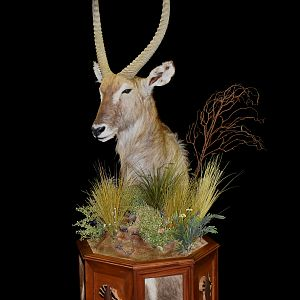 Waterbuck Pedestal Mount Taxidermy