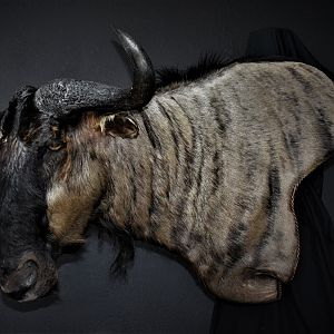 Blue Wildebeest Shoulder Mount Taxidermy