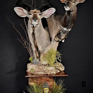 Kudu & Nyala Double Pedestal Mount Taxidermy