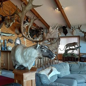Caribou Pedestal Mount Taxidermy