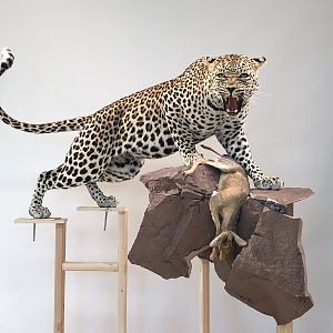 Leopard Mount Taxidermy Process