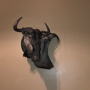 Blue Wildebeest Wall Mount Taxidermy
