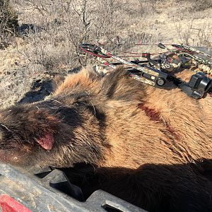 Texas USA Bow Hunt Eurasian Wild Boar