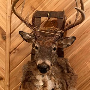 White-tailed Deer Mount Taxidermy