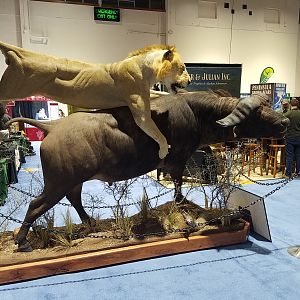 Lion hunting Buffalo Full Mount Taxidermy at Safari Club International (SCI) Convention Reno 2020