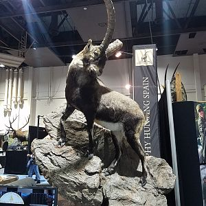 Ibex Full Mount Taxidermy at Safari Club International (SCI) Convention Reno 2020