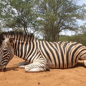 Hunting Burchell's Plain Zebra female in South Africa