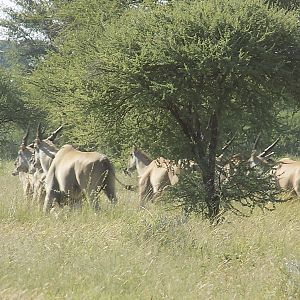 Eland in South Africa