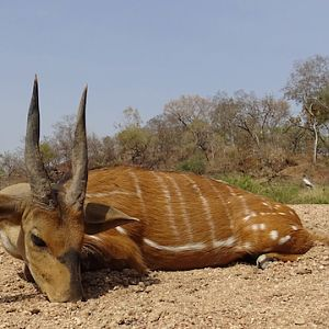 Harnessed Bushbuck Hunt Cameroon