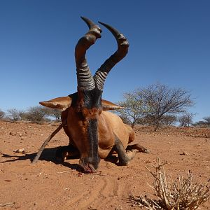 Red Hartebeest Hunt Namibia