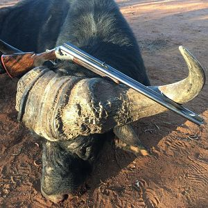 South Africa Hunting Buffalo