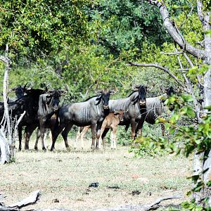 Blue Wildebeest Herd in South Africa