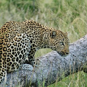 Leopard on Photo Safari in South Africa