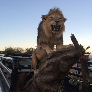 Lion Full Mount Taxidermy