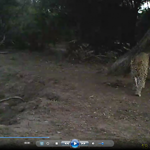 Leopard on trail cam Video
