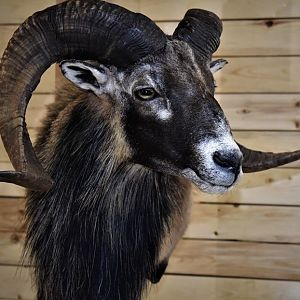 Corsican Sheep Shoulder Mount Taxidermy
