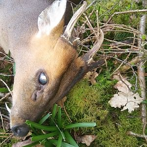Hunting Muntjac in England