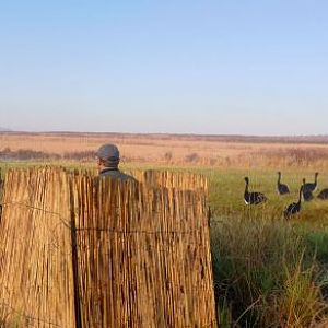 Spurwing Geese Hunt South Africa