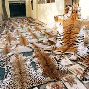 Hides recovered from a royal Bengal tiger poacher in India