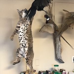 Bobcat & Black hen Pheasant Full Mount Taxidermy