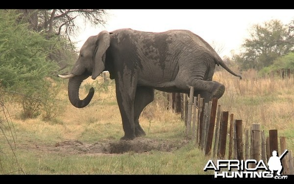 Quot Low Fence Quot Elephant Hunting Hunting