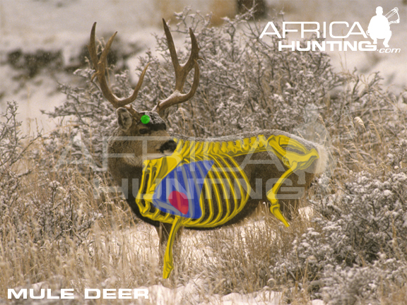 Mule deer anatomy