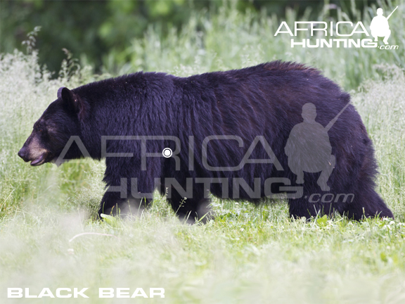 black bear hunting vitals index of hunting hunting vitals