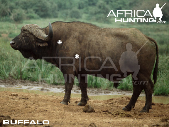 http://www.africahunting.com/hunting/shot-placement/buffalo_perfect_shot.jpg