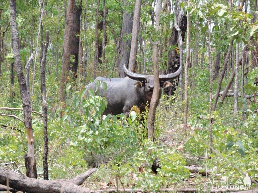 Asiatic Water Buffalo Australia Hunting