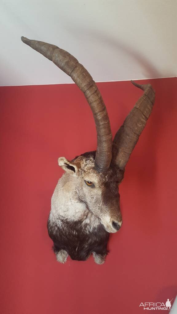 Beceite Ibex Shoulder Mount Taxidermy