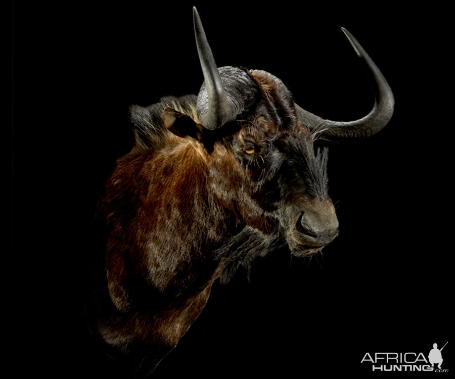 Black Wildebeest Shoulder Mount Taxidermy | AfricaHunting.com