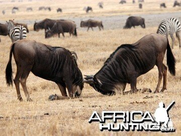 Blue Wildebeest fighting