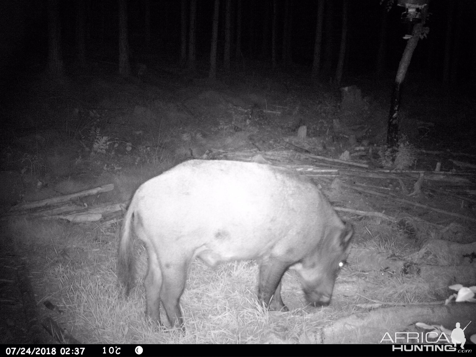 Boar Trail Cam Pictures Sweden