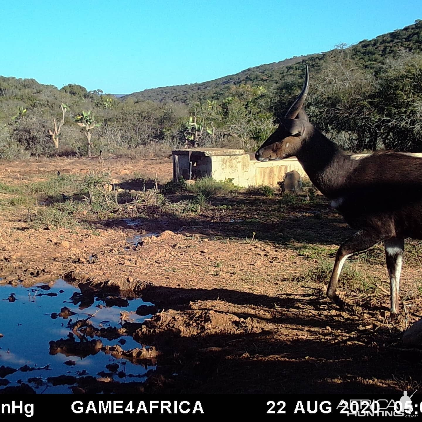 Bushbuck Trail Cam Pictures South Africa