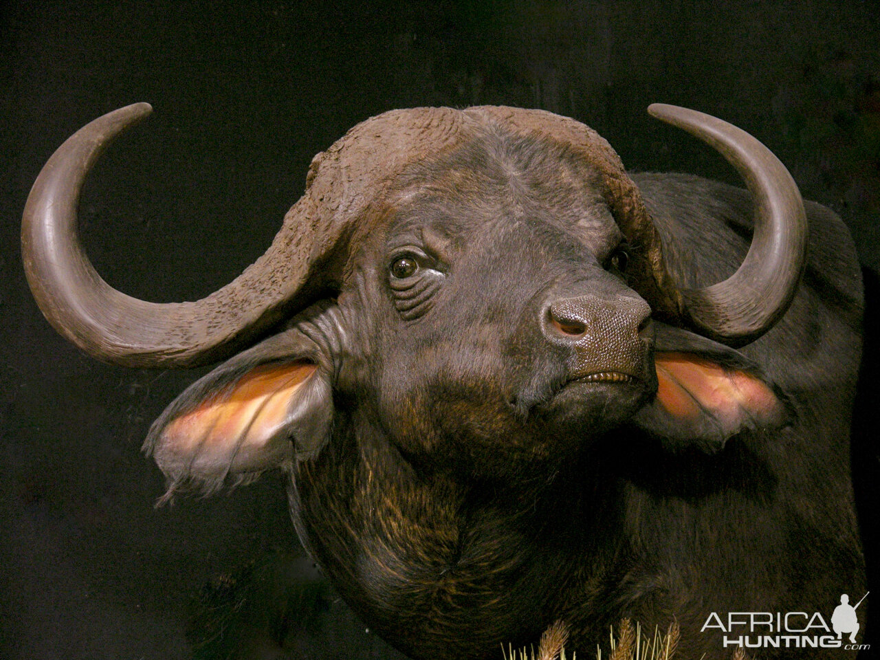 Cape Buffalo Pedestal Mount Taxidermy