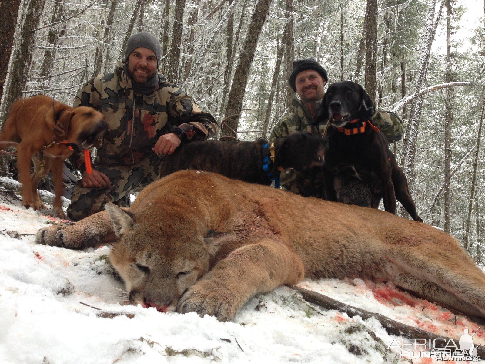 Cougar hunt in British Columbia Canada