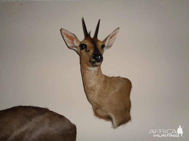 Duiker Shoulder Mount Taxidermy