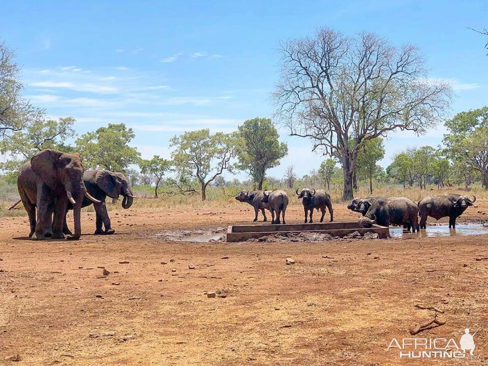 Elephant & Cape Buffalo in Mozambique